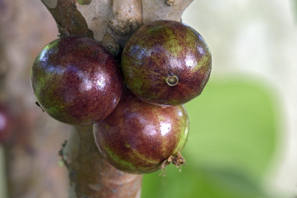 jabuticaba fruta