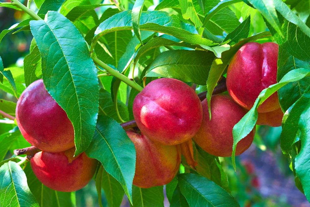 nectarina benefícios