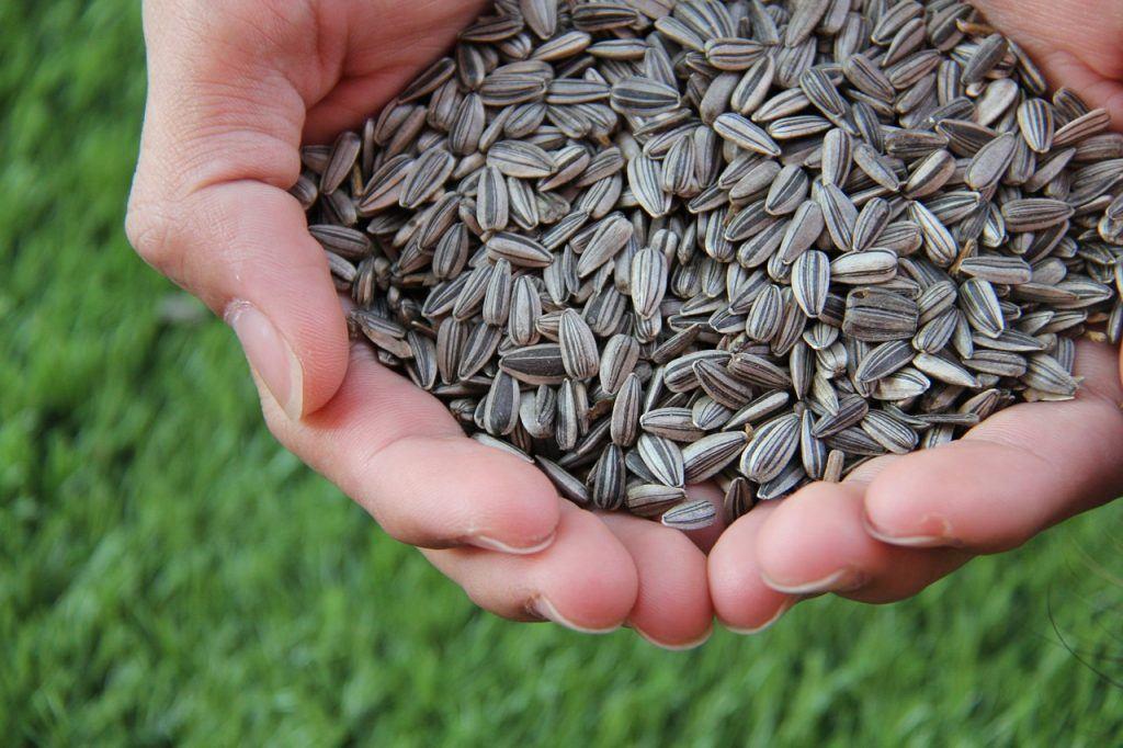 benefícios da semente de girassol