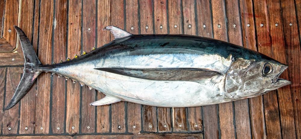 Benefícios do Atum para a saúde