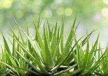 Benefícios do Aloe Vera para a saúde