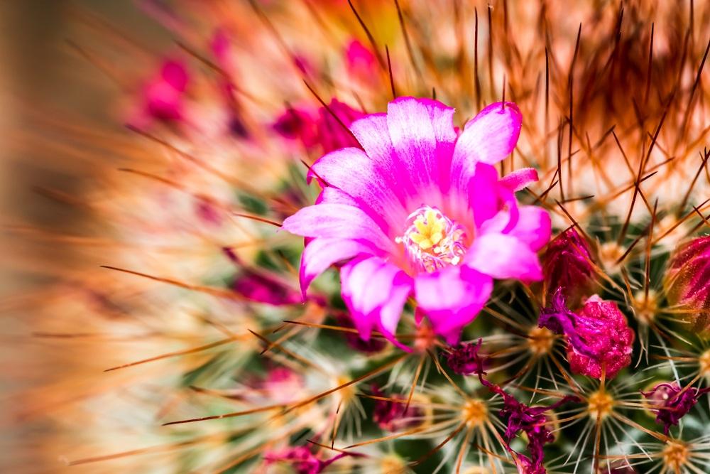 Benefícios da Flor do Cacto para a saúde