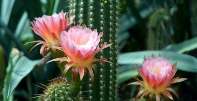 Benefícios da Flor do Cacto