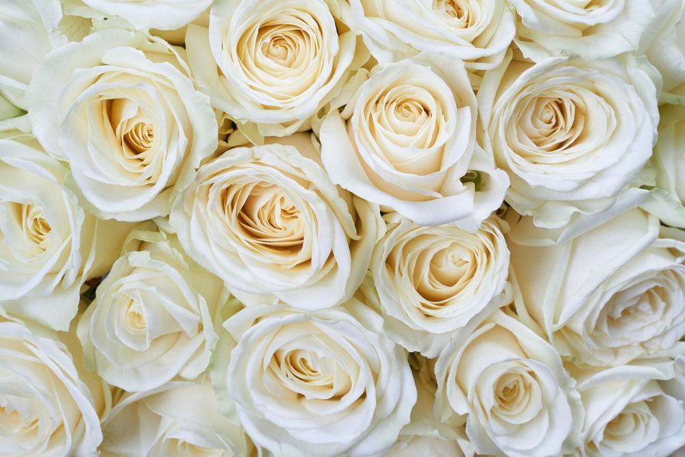 Benefícios da Rosa Branca para a saúde