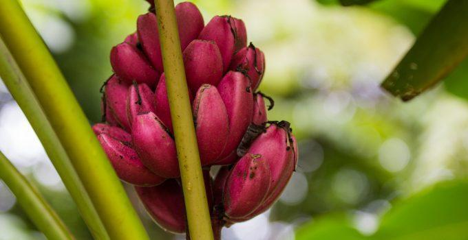 Benefícios da Banana vermelha para a saúde